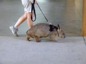 walkingwombat-thumb-465x348-20588